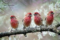 Bird - Pink Birds, On The Branch, Blossoming Spring, And a Red, Birds on Branch, In The Spring, Branching, In The Nature, Photographies, And Blossoms
