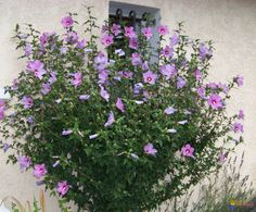 Rose of Sharon, Althea (Hibiscus syriacus) Height: 4-10' Spacing: 4-6 ft. (1.2-1.8 m) USDA Zone 8b: to -9.4 °C (15 °F) Sun Exposure: Full Sun Foliage: Deciduous Average Water Needs; Water regularly; do not overwater
