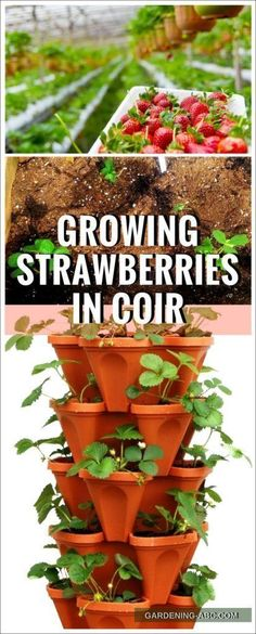 Coconut coir as a media for growing strawberries and why it is the best of the lot. How you are growing strawberries? If you are still growing it in soil then you have to see this. Why coco coir Types Of Strawberries, Growing Strawberries In Containers, Growing Vegetables In Containers, Container Gardening Vegetables, Vegetable Garden, Potted Strawberry Plants, Raspberry Plants, Strawberry Planters, Strawberry Garden