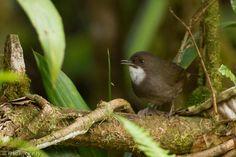 Mountain Mouse-warbler (Crateroscelis robusta) A bird singing