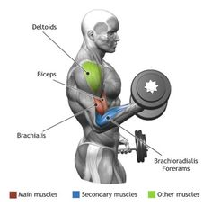 BICEPS -  STANDING DUMBBELL ALTERNATE BICEP CURL