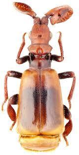 Paussus (Cochliopaussus) turcicus