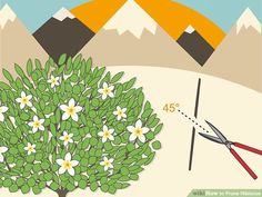 How to Prune Hibiscus: 10 Steps (with Pictures) - wikiHow Hibiscus Bush, Hibiscus Leaves, Hibiscus Garden, Hibiscus Plant, Peonies Garden, Exotic Flowers, Diy Flowers, Purple Flowers, Beautiful Flowers