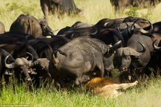 After goring him, Mr Greg said that the buffalo then began to stamp on top of the lion's h...