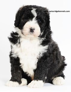 Bernedoodle puppy! This boy is huge! Only 7 weeks and 15lbs! The bernedoodles come in all sizes (tiny, mini and standard) this is a standard! He is amazing looking!