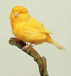 Canaries are so beautiful!  Rest In Peace, Forever Puff  by Isabel