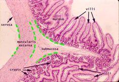 histology small intestine | http://www.deltagen.com/target/histologyatlas/atlas