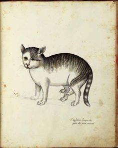 Ulise Aldrovani Animals - Cat with extra legs
