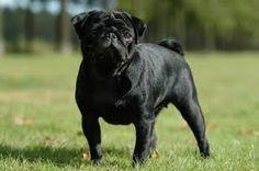 franse bulldog zwart - Google zoeken