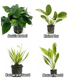 Live Plants 66794: 4 Potted Aquarium Plants Bundle Anubia, Amazon Sword, Kleiner Bar, Narrow Leaf BUY IT NOW ONLY: $35.99