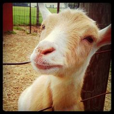 nigerian dwarf goat. I have three wethers-they are delightful pets.