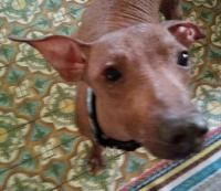Anna - Xoloitzcuintle (Mexican Hairless) Xoloitzcuintli Primitive Breed Rescue