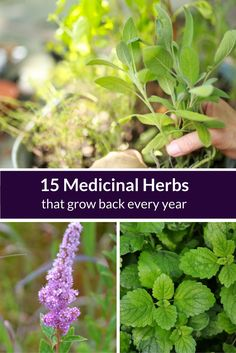 Agatha Noveille is an herbalist, author, and educator at the Herbal Academy. The Academy offers online herbalism training programs including courses for beginner, intermediate, and advanced level students. Perennial plants can be thought of as a gardener's best friend. After an initial planting,Read this artice