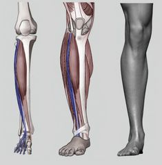 Exceptional Drawing The Human Figure Ideas. Staggering Drawing The Human Figure Ideas. Leg Anatomy, Muscle Anatomy, Anatomy Art, Drawing Legs, Body Drawing, Leg Reference, Anatomy Reference, Human Figure Drawing, Figure Drawing Reference