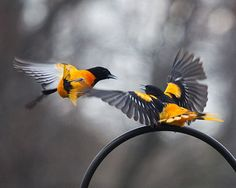 Baltimore Orioles--birds x 2 by Small Mysteries Baltimore Orioles Birds, Oriole Bird, Beautiful Birds, Big Backyard, Cool Photos, Amphibians, Maryland, Egg, Layers