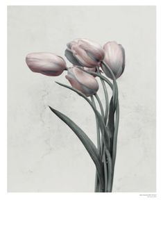 Vee Speers poster by ViSSEVASSE. The flower Tulipa Gesneriana is from the series Botanica. Poster Prints, Tulip Painting, Botanical Illustration, Flower Art, Painting, Art, Vee Speers, Painting Frames, Prints