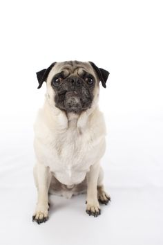 Check out this and even more adorable studio photos by the wonderful Fog Dog Studios. See all of the photos here >>> http://www.thepugdiary.com/bubbles-chester-pug-photography-by-fog-dog-studios/