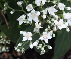DEUTZIA setchuenensis var. corymbiflora White Plants, Horticulture, Garden Inspiration, Gardens, Nature, Tuin, House Gardens, Lawn And Garden, Urban Homesteading