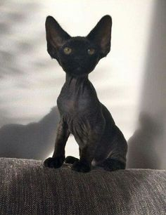 best pictures ideas of devon rex kitten - most affectionate cat breeds - We Like Animals I Love Cats, Crazy Cats, Cool Cats, Beautiful Cats, Animals Beautiful, Cute Animals, Puppies And Kitties, Cats And Kittens, Chat Rex