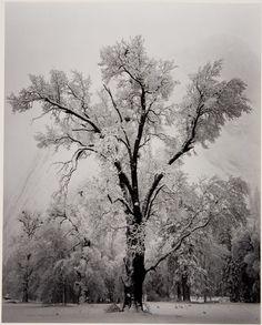 Ansel Adams  Oak Tree, Snow Storm, Yosemite, from Portfolio One: Twelve Photographic Prints, 1948 (via Museumuesum)