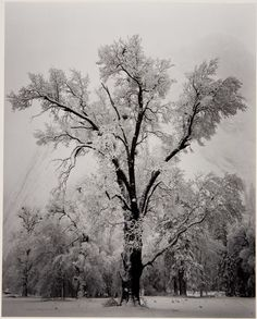 Ansel Adams  Oak Tree, Snow Storm, Yosemite, from Portfolio One: Twelve Photographic Prints, 1948 (via Museumuesum)