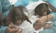 awwww orangutan twins!!