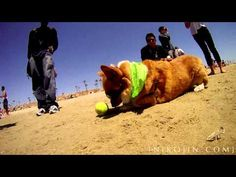 Video + photos of 140 Corgis frolicking on the beach, PLUS how you can join the next FRAPfest! #corgi