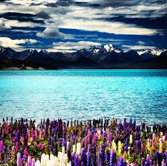 Lake Tekapo South Island New Zealand Stock Photo (Edit Now) 71646994 Air New Zealand, New Zealand Lakes, New Zealand Tours, Scenery Wallpaper, Landscape Wallpaper, Nature Wallpaper, Wall Wallpaper, 4k Ultra Hd Wallpapers, Spring Scenery