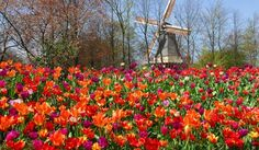 keukenhof in lisse, holland...more than 7 million tulips, daffodils, and hyacinths in bloom...oh please, oh please!