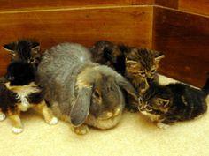 O coelho ajudou a cuidar de uma ninhada inteiro de gatos abandonados.