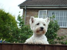 Westies ... take two. | Flickr - Photo Sharing!