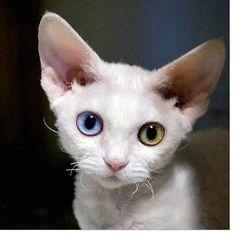 5 x 5 Print Odd Eyed Devon Rex Kitten Cute Pet by glennisphotos, $20  this is so precious!!!