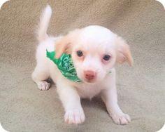 Burbank, CA - Maltese/Chihuahua Mix. Meet Alfie, a puppy for adoption.…