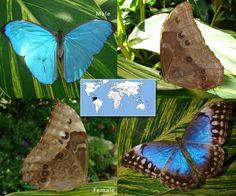 Blue Morpho   Morpho amathonte    Wingspan: 5.75 to 6.9 in Family: Nymphalidae   Subfamily: Satyrinae   Tribe: Morphini  Photos © Ryan G. Fessenden