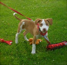 Meet Adorable Theo - VIDEO, a Petfinder adoptable Bull Terrier Dog Animal Throws, Rescue Puppies, Bull Terrier Mix, Australian Cattle Dog, All Dogs, Pet Adoption, Dog Cat, Kittens, Pets