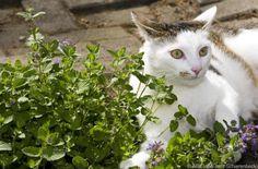 Katzenminze ab Mitte Juli abschneiden #News #Wohnen