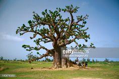 Senegal Mbour Region Baobab Tree In Field People Underneath Stock . Baobab Tree, Stock Photos, People, Plants, Image, Plant, People Illustration, Folk, Planets