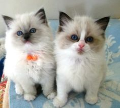 Ragdoll Kittens Gallery | Ragdoll Cats and Kittens | Kerikeri | Northland | New Zealand