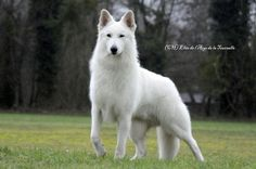 White Swiss shepherd.So beautiful