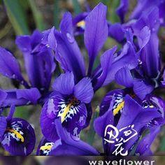 Seed Horse orchid heat-resistant plants garden terrace flower wholesale $5.80