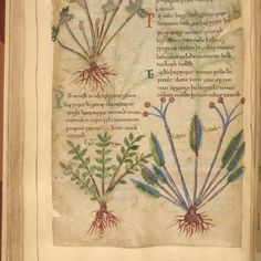 Cotton MS Vitellius C III - 1,000-Year-Old Illustrated Manuscript of Herbal Remedies Available Online
