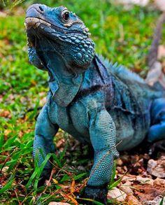 Salamandra http://animaisemdestaque.files.wordpress.com/2012/06/cyclura-lewisi.jpg