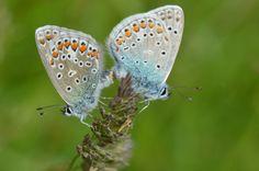 allcreatures:  Two Silver-studded Blue butterflies (Lycaeninae Idas) sit on a blade of grass in Lofer, Austrian province of Salzburg