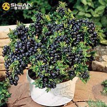 un paquete de unids blueberry semillas de rboles de arndanos de la fruta en macetas