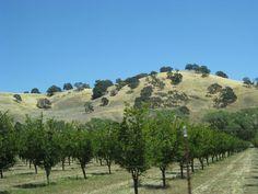 Vacaville CA walnut trees
