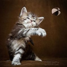 Just playing ball.  #cats #cat #kitten #kittens #mainecoon #mainecooncat #cute