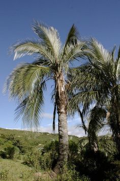 The zunca palm, Parajubaea sunkha, in habitat in the foothills of the Bolivian Andes. The smallest species in the genus at 35ft max height, this palm tolerates drought and poor soils, and it resembles a coconut palm. It's a nice alternative to the queen palm for the Bay Area.