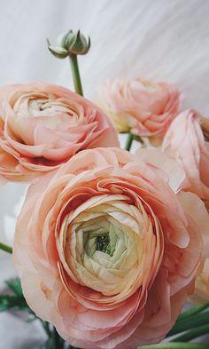Ранункулюсы крупным планом. Цветы. Flowers. Ranunculus
