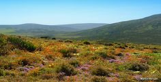 Namaqualand – South Africa's Daisy Sensation ~ Kuriositas Spring Flowers, Wild Flowers, Plants For Shady Areas, Western Coast, Water Wise, All Nature, Planting Bulbs, Nature Pictures, Mother Earth