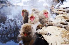 """เที่ยวญี่ปุ่น เมืองนากาโน่ ชมลิงญี่ปุ่นหรือ """"สโนว์มังกี้"""" แช่บ่อน้ำร้อนกลางแจ้ง"""